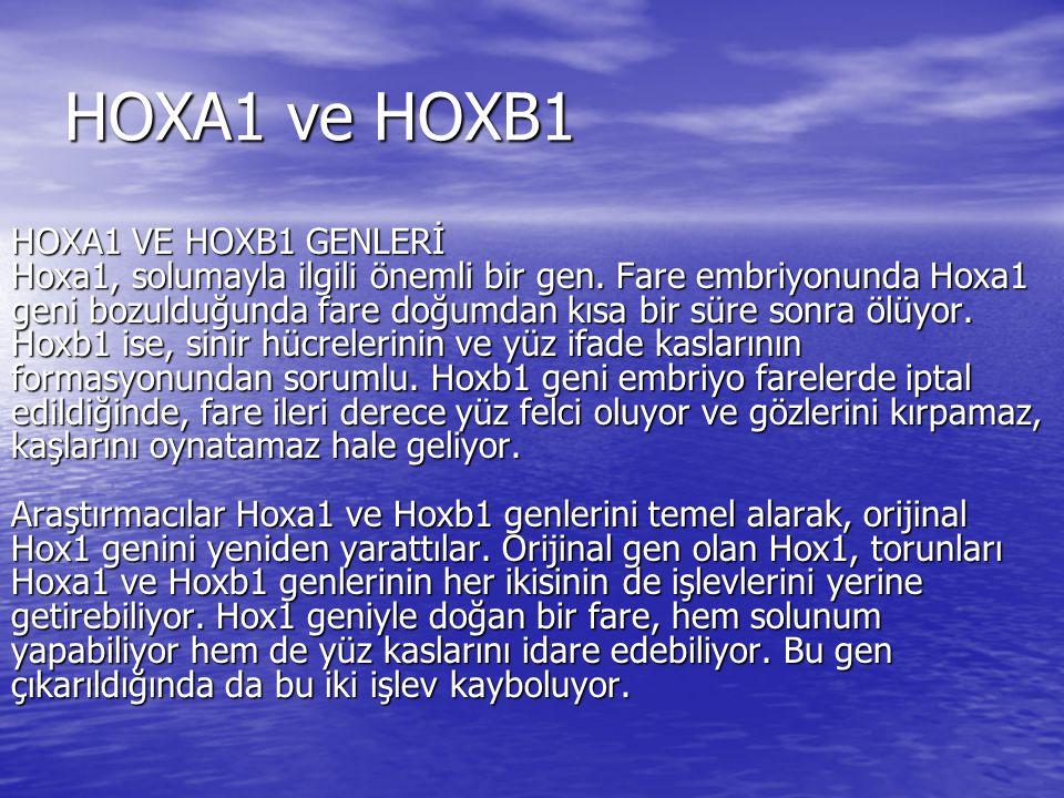 HOXA1 ve HOXB1 HOXA1 VE HOXB1 GENLERİ Hoxa1, solumayla ilgili önemli bir gen. Fare embriyonunda Hoxa1 geni bozulduğunda fare doğumdan kısa bir süre so