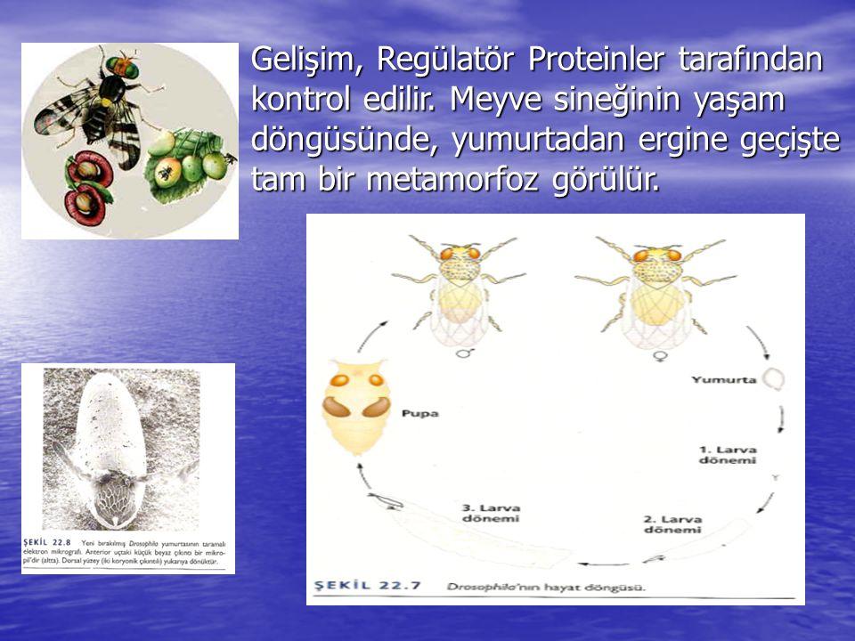 Gelişim, Regülatör Proteinler tarafından kontrol edilir. Meyve sineğinin yaşam döngüsünde, yumurtadan ergine geçişte tam bir metamorfoz görülür.