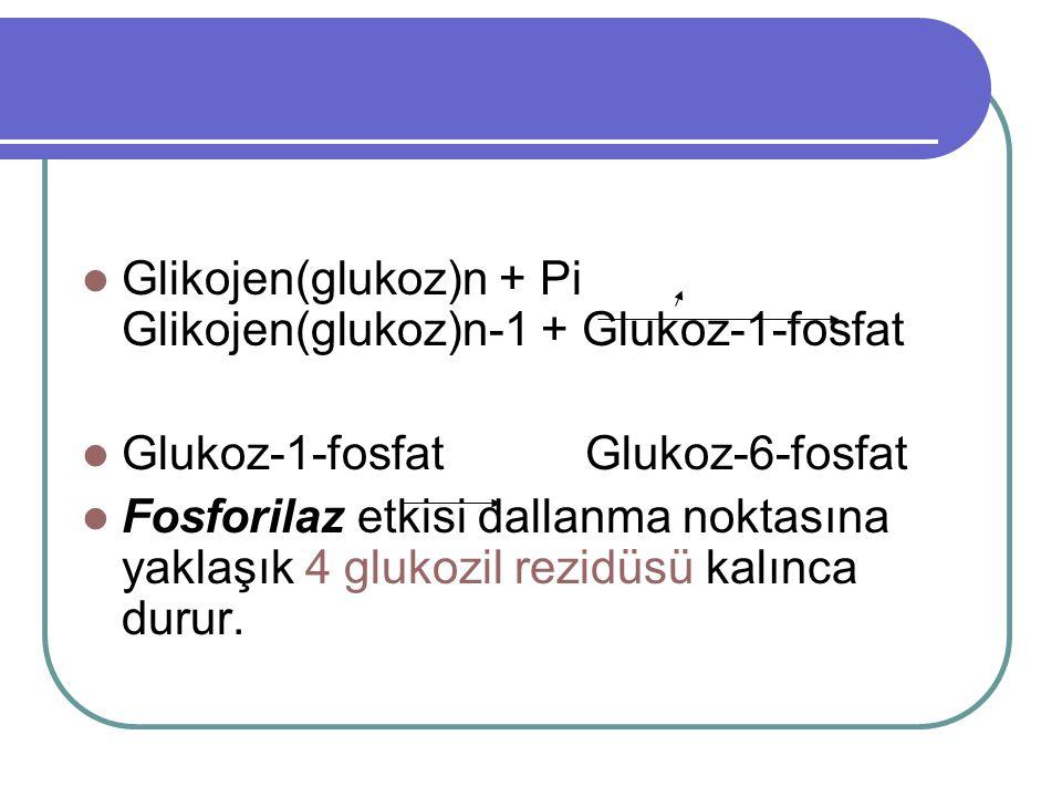  Glikojen(glukoz)n + Pi Glikojen(glukoz)n-1 + Glukoz-1-fosfat  Glukoz-1-fosfat Glukoz-6-fosfat  Fosforilaz etkisi dallanma noktasına yaklaşık 4 glukozil rezidüsü kalınca durur.