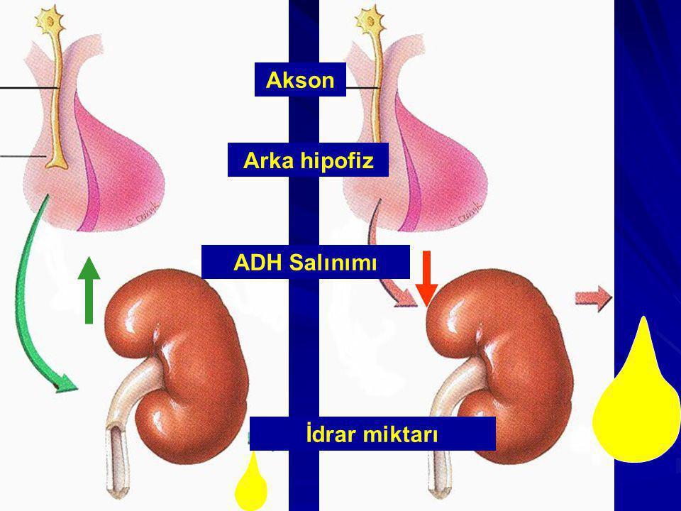 Akson Arka hipofiz ADH Salınımı İdrar miktarı