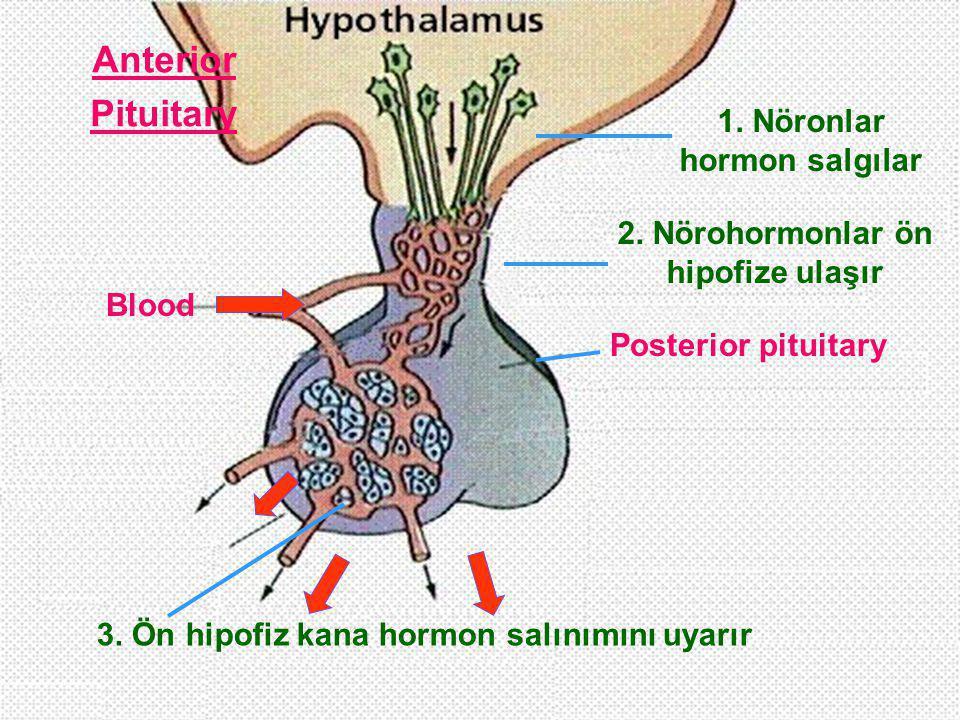 Posterior pituitary Blood 1. Nöronlar hormon salgılar 3. Ön hipofiz kana hormon salınımını uyarır 2. Nörohormonlar ön hipofize ulaşır Anterior Pituita