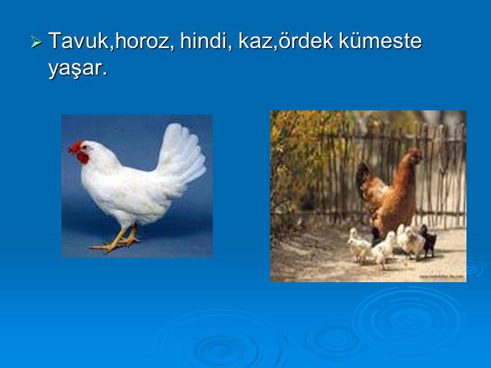  Tavuk,horoz, hindi, kaz,ördek kümeste yaşar.