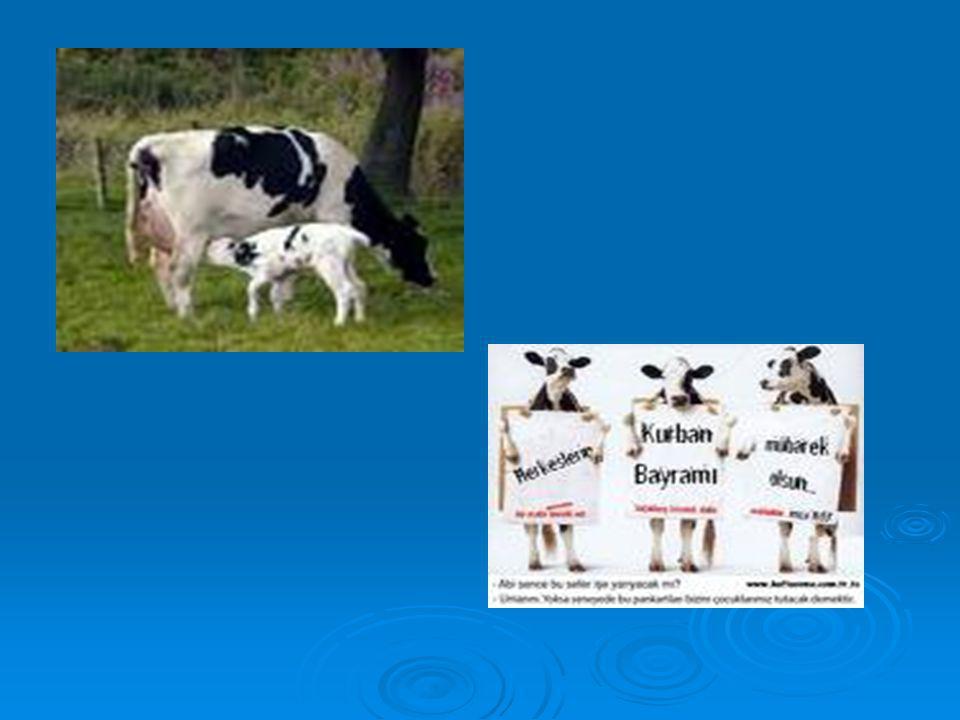  Koyun, keçi,kuzu,oğlak ağılda yaşar