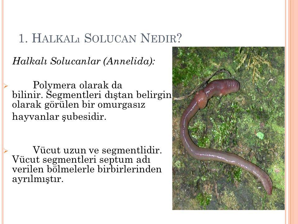 1.H ALKALı S OLUCAN N EDIR . Halkalı Solucanlar (Annelida):  Polymera olarak da bilinir.