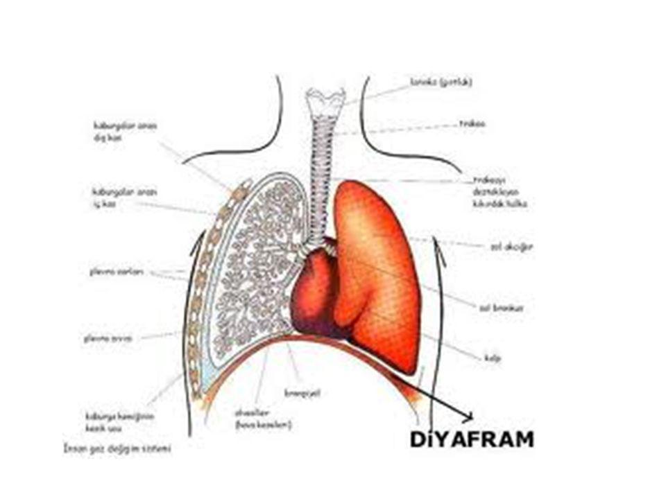 Soluk verirken de aynı yollardan geçer • Soluk verirken akciğerlerdeki karbandioksiti verir.