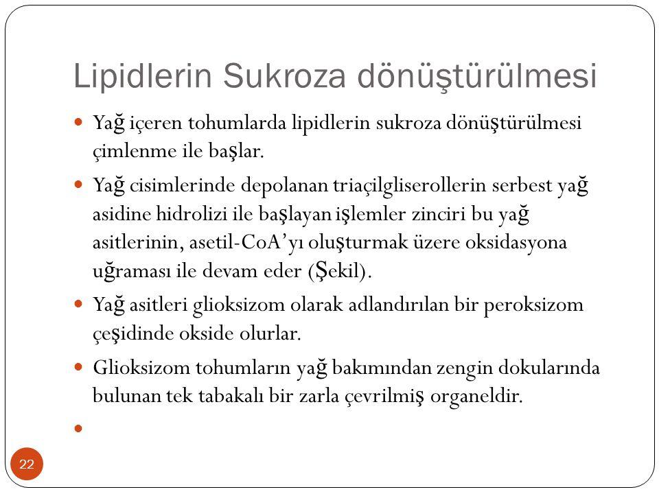 Lipidlerin Sukroza dönüştürülmesi  Ya ğ içeren tohumlarda lipidlerin sukroza dönü ş türülmesi çimlenme ile ba ş lar.  Ya ğ cisimlerinde depolanan tr