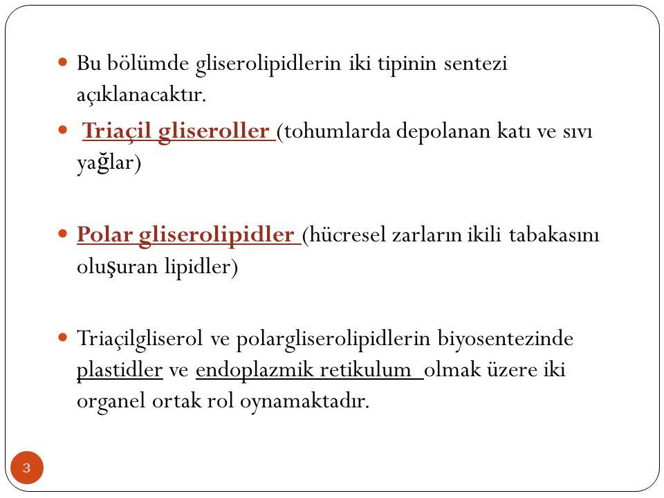  Bu bölümde gliserolipidlerin iki tipinin sentezi açıklanacaktır.  Triaçil gliseroller (tohumlarda depolanan katı ve sıvı yağlar)  Polar gliserolip
