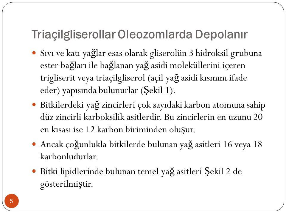Triaçilgliserollar Oleozomlarda Depolanır  Sıvı ve katı ya ğ lar esas olarak gliserolün 3 hidroksil grubuna ester ba ğ ları ile ba ğ lanan ya ğ asidi