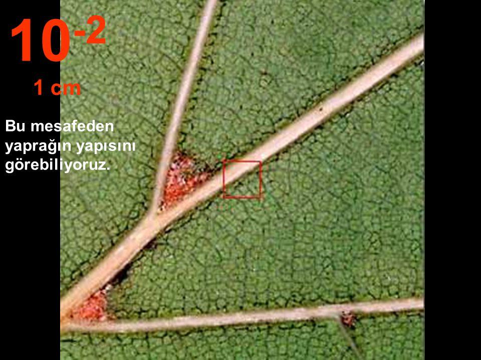 Bu mesafeden yaprağı tüm ayrıntısıyla seçebiliyoruz. 10 -1 10 cm