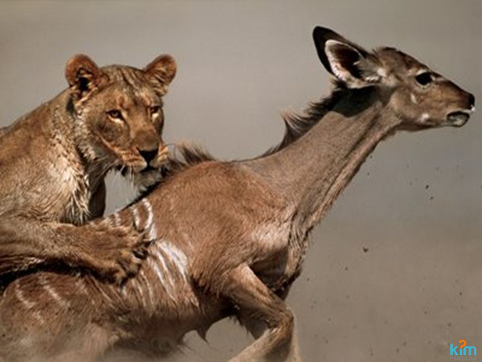 MOTİVASYON BENİM AFRİKAM Her sabah bir ceylan uyanır Afrika'da Kafasında bir tek düşünce vardır.