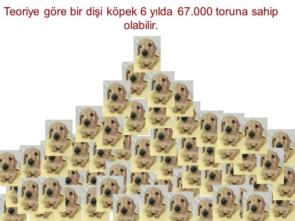 Teoriye göre bir dişi köpek 6 yılda 67.000 toruna sahip olabilir.
