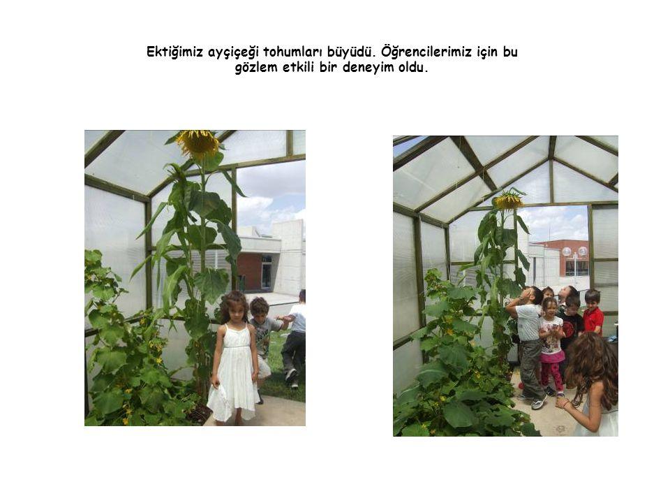 Ektiğimiz ayçiçeği tohumları büyüdü. Öğrencilerimiz için bu gözlem etkili bir deneyim oldu.