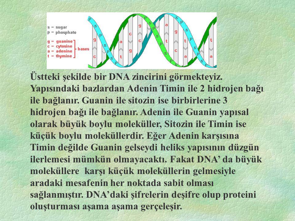 Üstteki şekilde bir DNA zincirini görmekteyiz.