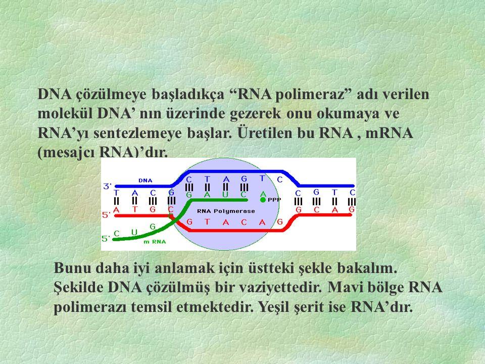 DNA çözülmeye başladıkça RNA polimeraz adı verilen molekül DNA' nın üzerinde gezerek onu okumaya ve RNA'yı sentezlemeye başlar.