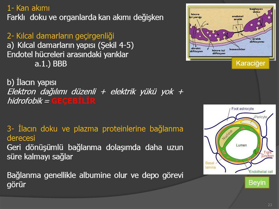 1- Kan akımı Farklı doku ve organlarda kan akımı değişken 2- Kılcal damarların geçirgenliği a)Kılcal damarların yapısı (Şekil 4-5) Endotel hücreleri arasındaki yarıklar a.1.) BBB b) İlacın yapısı Elektron dağılımı düzenli + elektrik yükü yok + hidrofobik = GEÇEBİLİR 3- İlacın doku ve plazma proteinlerine bağlanma derecesi Geri dönüşümlü bağlanma dolaşımda daha uzun süre kalmayı sağlar Bağlanma genellikle albumine olur ve depo görevi görür Karaciğer Beyin 23