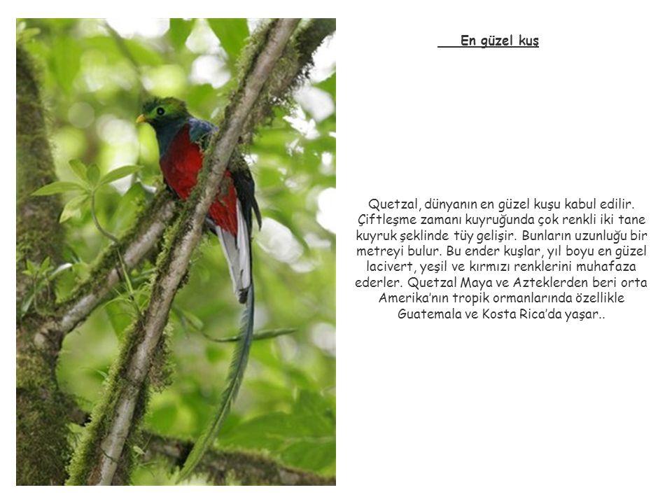 En güzel kuş Quetzal, dünyanın en güzel kuşu kabul edilir. Çiftleşme zamanı kuyruğunda çok renkli iki tane kuyruk şeklinde tüy gelişir. Bunların uzunl