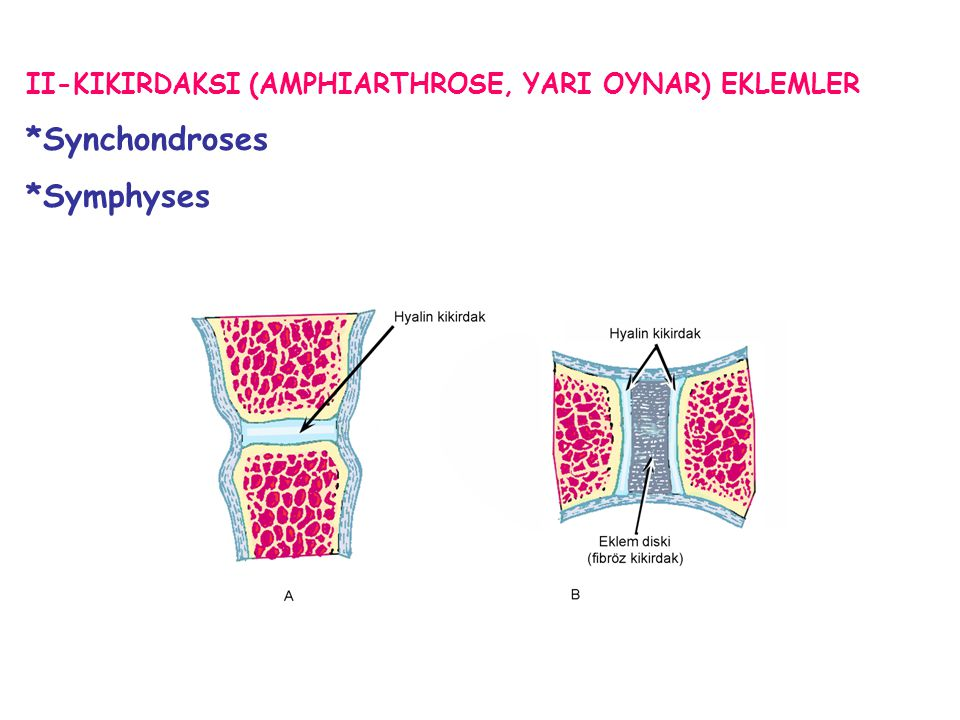 II-KIKIRDAKSI (AMPHIARTHROSE, YARI OYNAR) EKLEMLER *Synchondroses *Symphyses