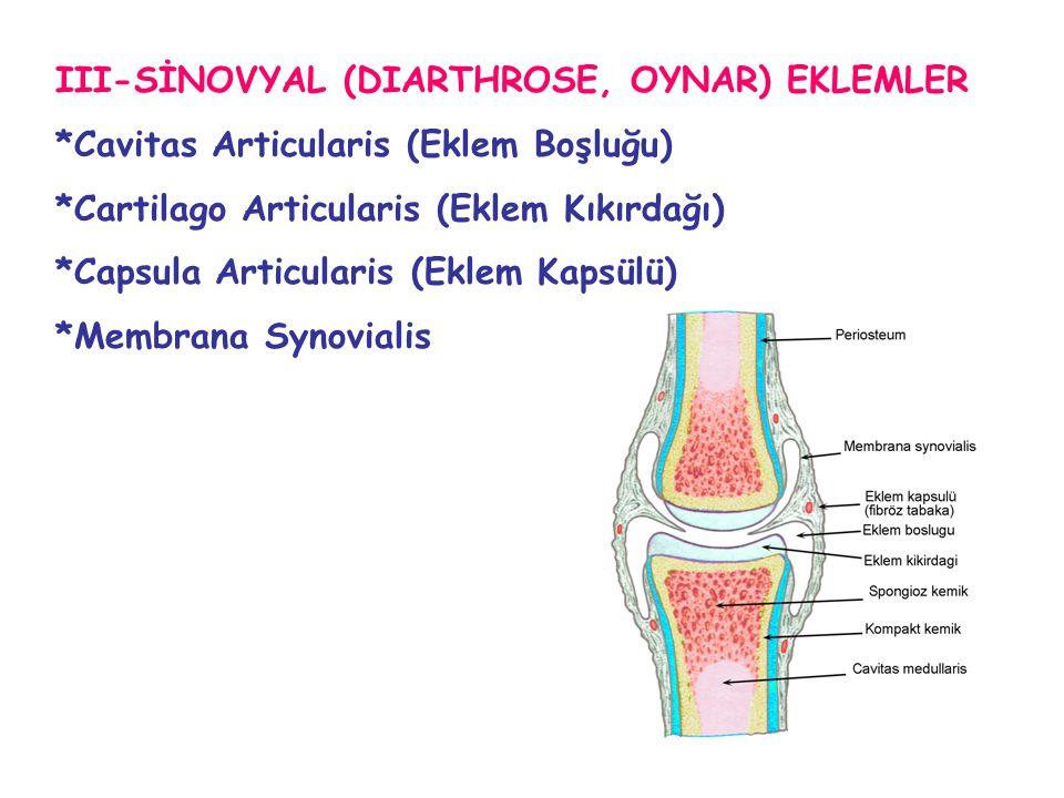 III-SİNOVYAL (DIARTHROSE, OYNAR) EKLEMLER *Cavitas Articularis (Eklem Boşluğu) *Cartilago Articularis (Eklem Kıkırdağı) *Capsula Articularis (Eklem Ka