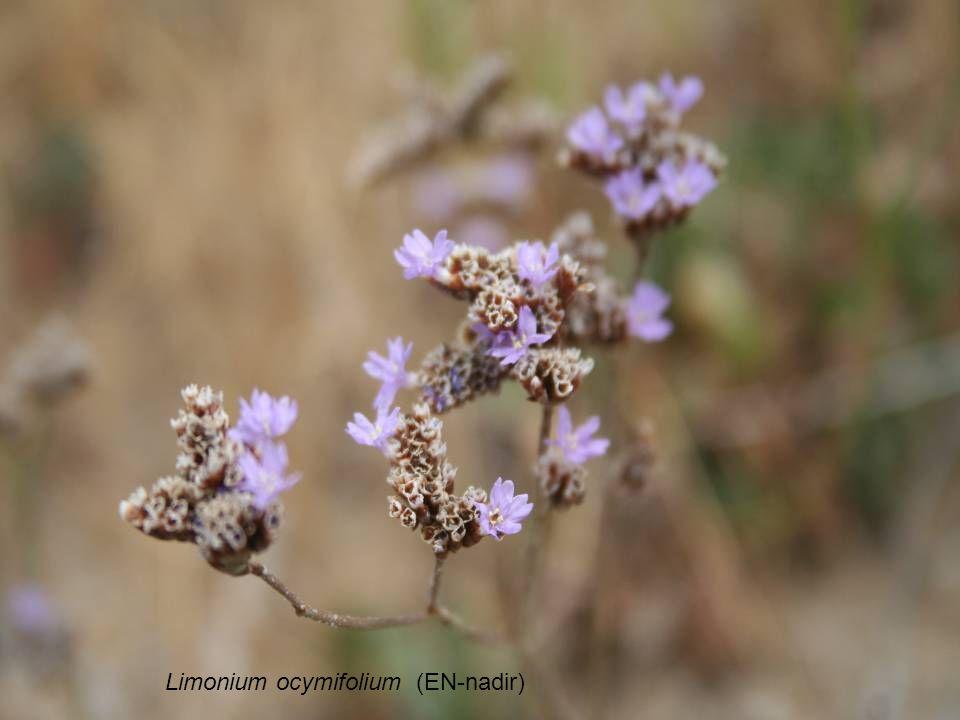 Limonium ocymifolium (EN-nadir)