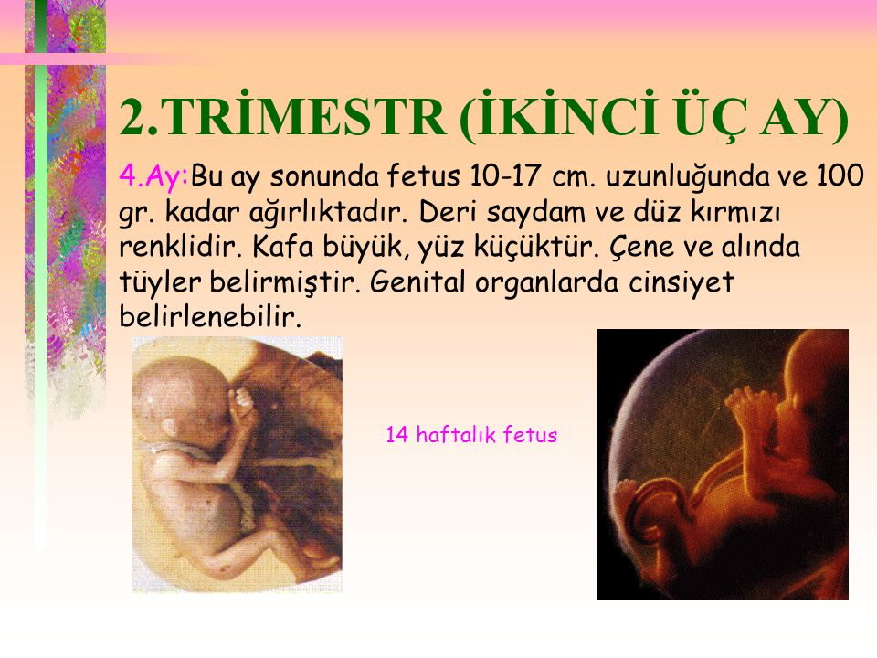 2.TRİMESTR (İKİNCİ ÜÇ AY) 4.Ay:Bu ay sonunda fetus 10-17 cm. uzunluğunda ve 100 gr. kadar ağırlıktadır. Deri saydam ve düz kırmızı renklidir. Kafa büy