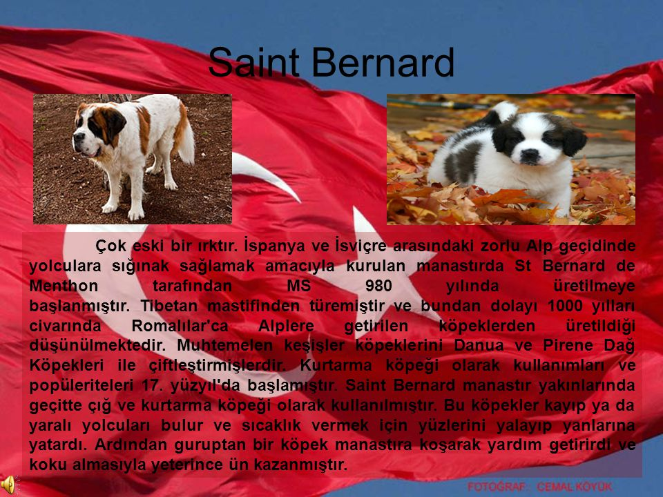 Saint Bernard Çok eski bir ırktır. İspanya ve İsviçre arasındaki zorlu Alp geçidinde yolculara sığınak sağlamak amacıyla kurulan manastırda St Bernard