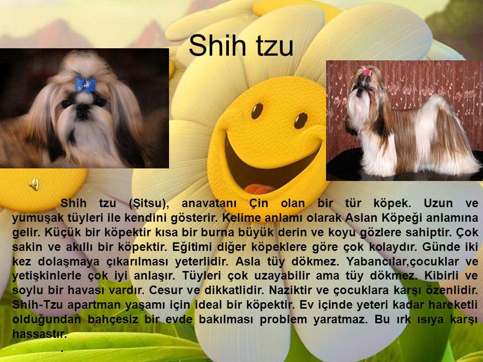 Shih tzu Shih tzu (Şitsu), anavatanı Çin olan bir tür köpek. Uzun ve yumuşak tüyleri ile kendini gösterir. Kelime anlamı olarak Aslan Köpeği anlamına