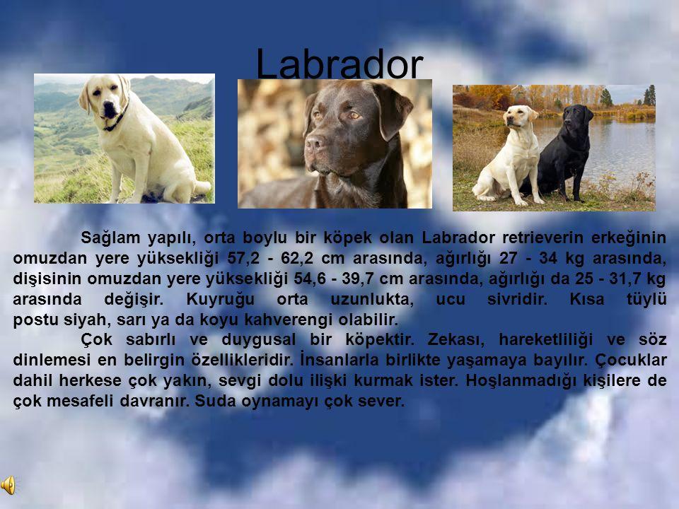 Labrador Sağlam yapılı, orta boylu bir köpek olan Labrador retrieverin erkeğinin omuzdan yere yüksekliği 57,2 - 62,2 cm arasında, ağırlığı 27 - 34 kg