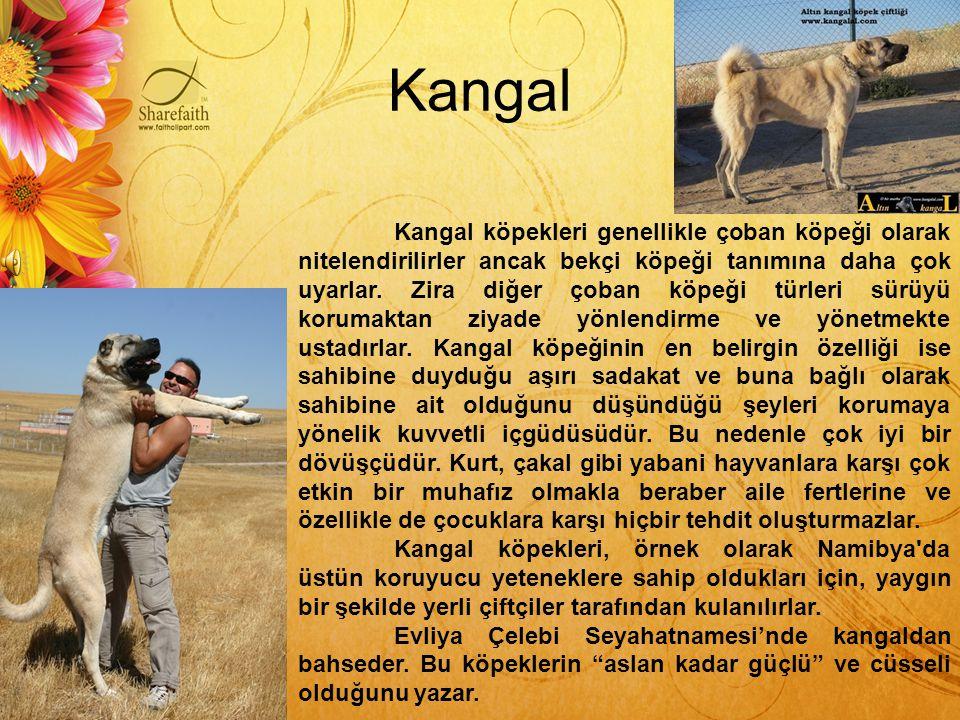 Kangal Kangal köpekleri genellikle çoban köpeği olarak nitelendirilirler ancak bekçi köpeği tanımına daha çok uyarlar. Zira diğer çoban köpeği türleri