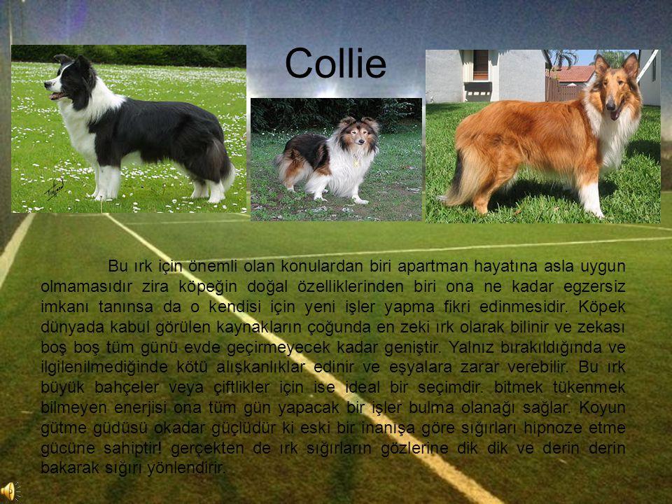 Collie Bu ırk için önemli olan konulardan biri apartman hayatına asla uygun olmamasıdır zira köpeğin doğal özelliklerinden biri ona ne kadar egzersiz