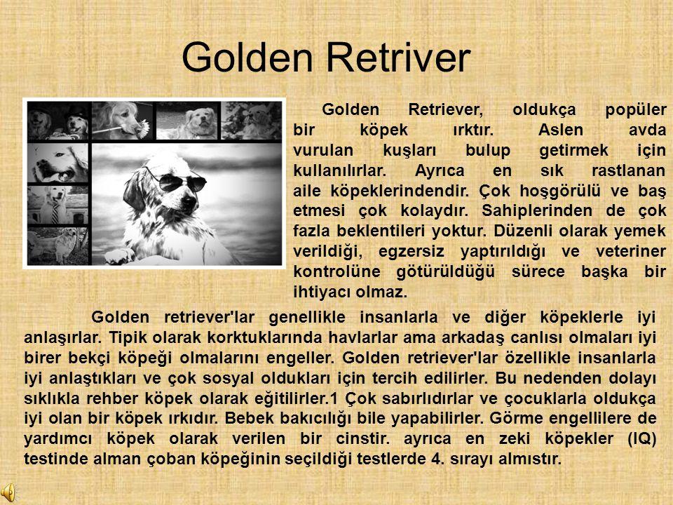 Golden Retriver Golden Retriever, oldukça popüler bir köpek ırktır. Aslen avda vurulan kuşları bulup getirmek için kullanılırlar. Ayrıca en sık rastla