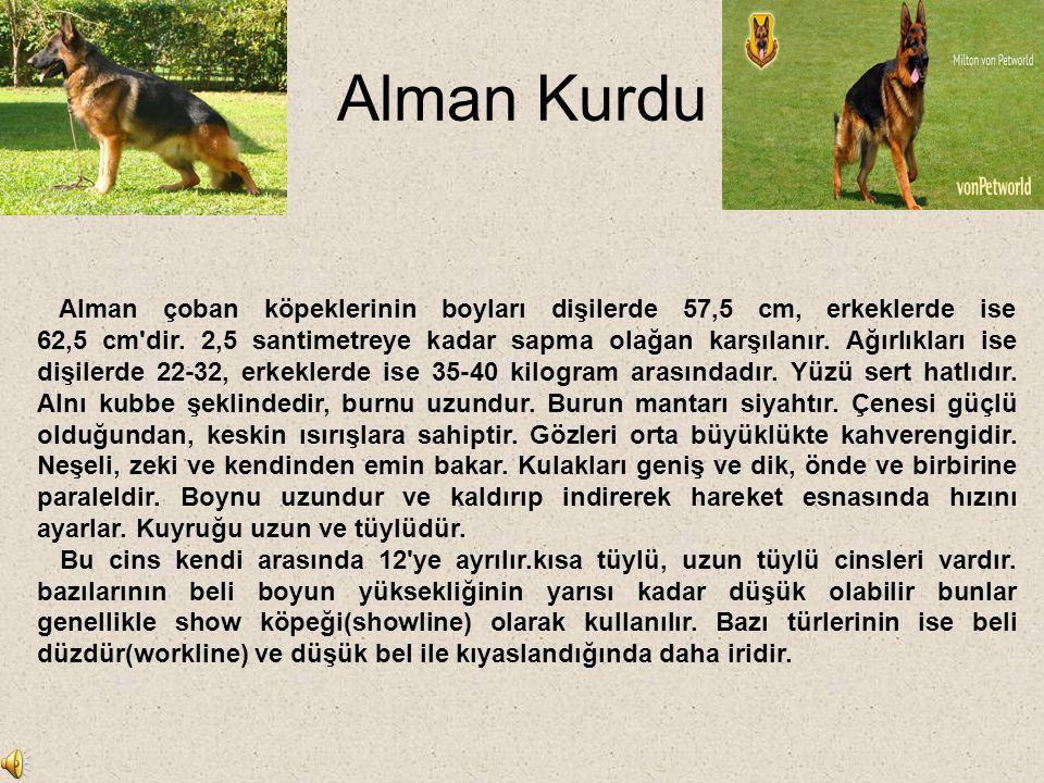 Alman Kurdu Alman çoban köpeklerinin boyları dişilerde 57,5 cm, erkeklerde ise 62,5 cm'dir. 2,5 santimetreye kadar sapma olağan karşılanır. Ağırlıklar