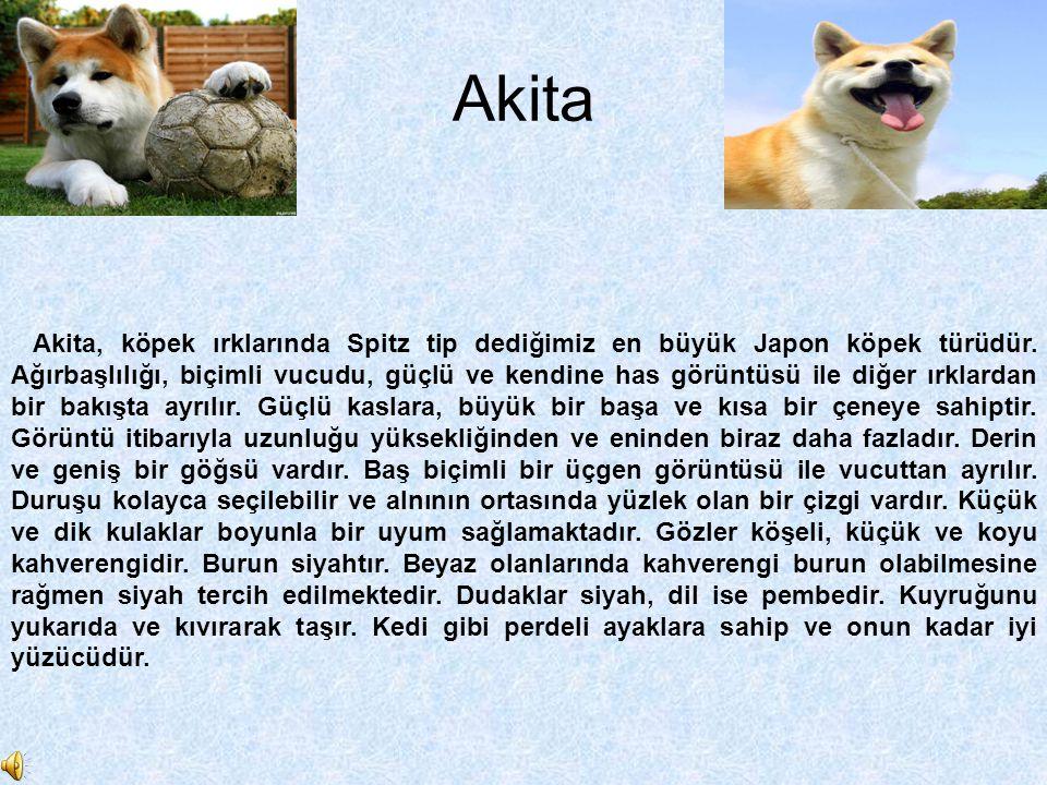 Akita Akita, köpek ırklarında Spitz tip dediğimiz en büyük Japon köpek türüdür. Ağırbaşlılığı, biçimli vucudu, güçlü ve kendine has görüntüsü ile diğe