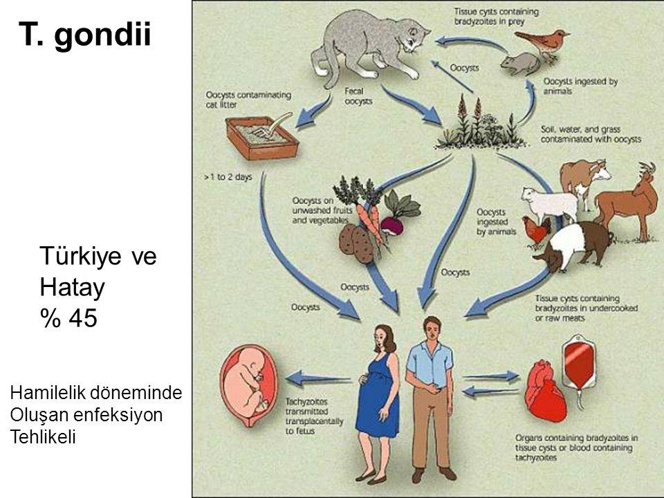 T. gondii Türkiye ve Hatay % 45 Hamilelik döneminde Oluşan enfeksiyon Tehlikeli