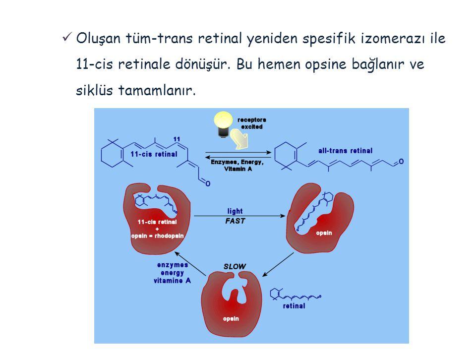  Oluşan tüm-trans retinal yeniden spesifik izomerazı ile 11-cis retinale dönüşür. Bu hemen opsine bağlanır ve siklüs tamamlanır.
