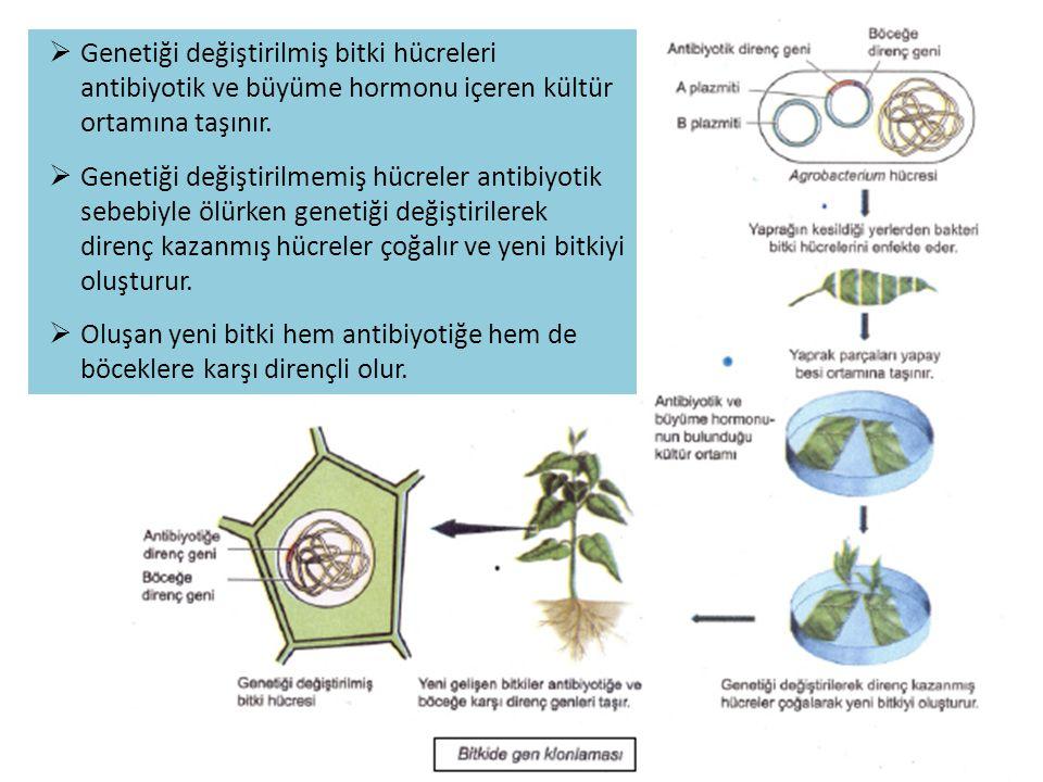  Genetiği değiştirilmiş bitki hücreleri antibiyotik ve büyüme hormonu içeren kültür ortamına taşınır.