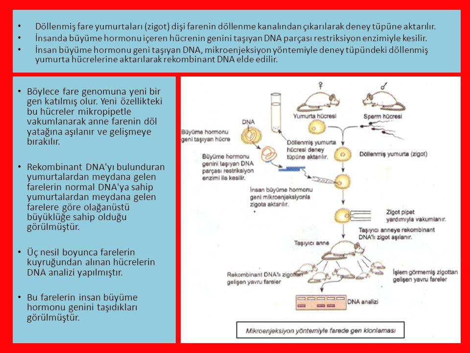 • Böylece fare genomuna yeni bir gen katılmış olur.