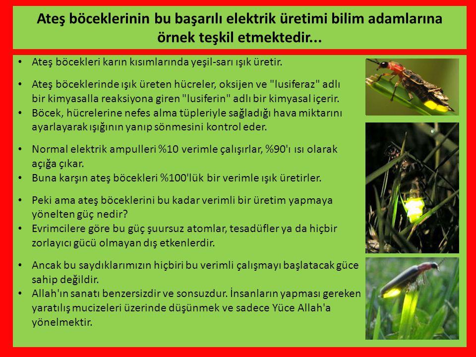 • Ateş böcekleri karın kısımlarında yeşil-sarı ışık üretir.