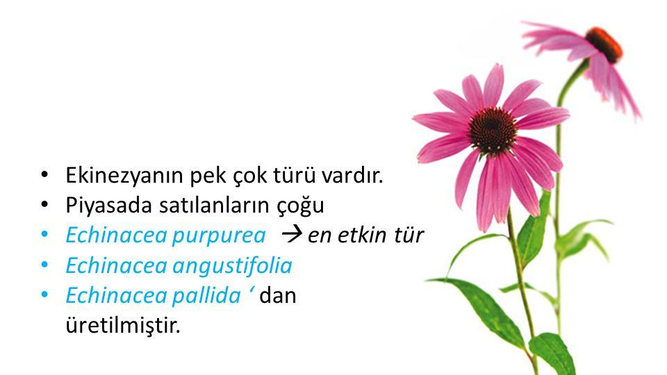 • Nemli vadilerde yetişen bir kır çiçeği türüdür. • Tıp literatüründe kendine yeni yeni yer edinmeye başlayan ekinezya, mor ve parıltılı renginden dol