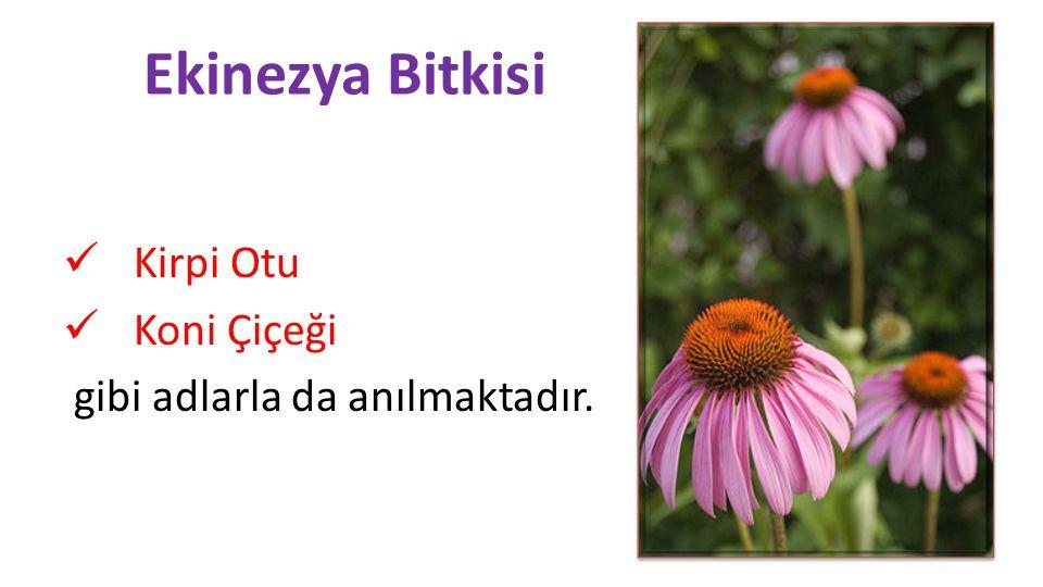 Ekinezya Bitkisi  Kirpi Otu  Koni Çiçeği gibi adlarla da anılmaktadır.