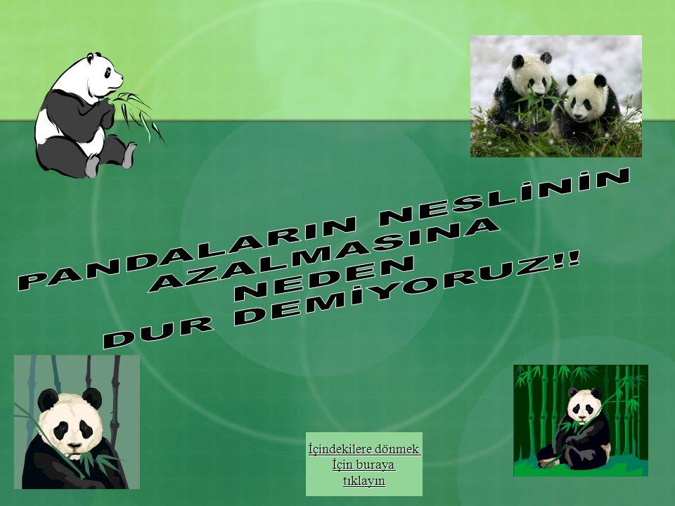 Koruma Pandalar üzerinde araştırma yapmak çok zor olduğundan onlar hakkında çok az bilgi vardır. Nesilleri tükenmek üzere olduğundan bu değerli hayvan