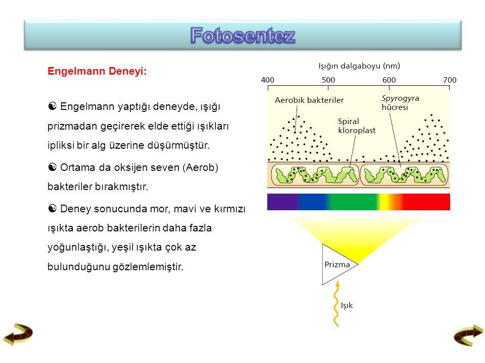 Engelmann Deneyi:  Engelmann yaptığı deneyde, ışığı prizmadan geçirerek elde ettiği ışıkları ipliksi bir alg üzerine düşürmüştür.  Ortama da oksijen