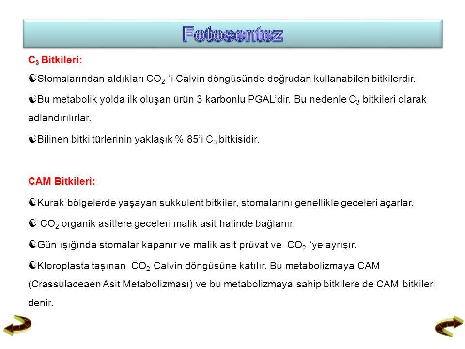 C 3 Bitkileri:  Stomalarından aldıkları CO 2 'i Calvin döngüsünde doğrudan kullanabilen bitkilerdir.  Bu metabolik yolda ilk oluşan ürün 3 karbonlu