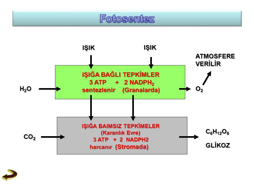 IŞIĞA BAĞLI TEPKİMLER IŞIĞA BAĞLI TEPKİMLER 3 ATP + 2 NADPH 2 3 ATP + 2 NADPH 2 sentezlenir (Granalarda) sentezlenir (Granalarda) IŞIĞA BAIMSIZ TEPKİM