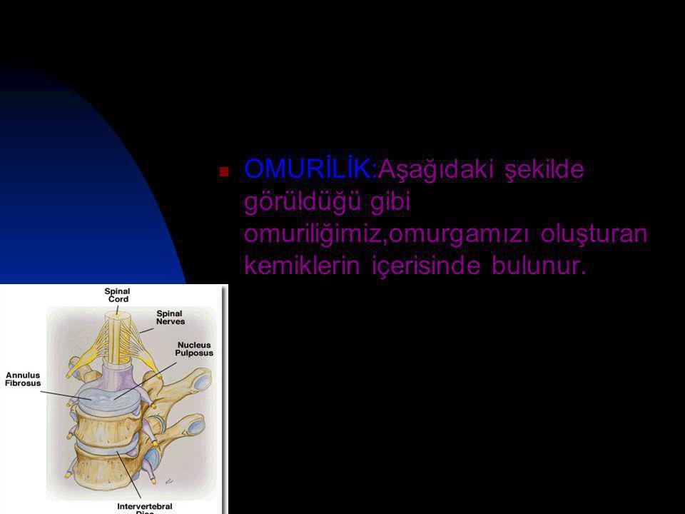  OMURİLİK:Aşağıdaki şekilde görüldüğü gibi omuriliğimiz,omurgamızı oluşturan kemiklerin içerisinde bulunur.