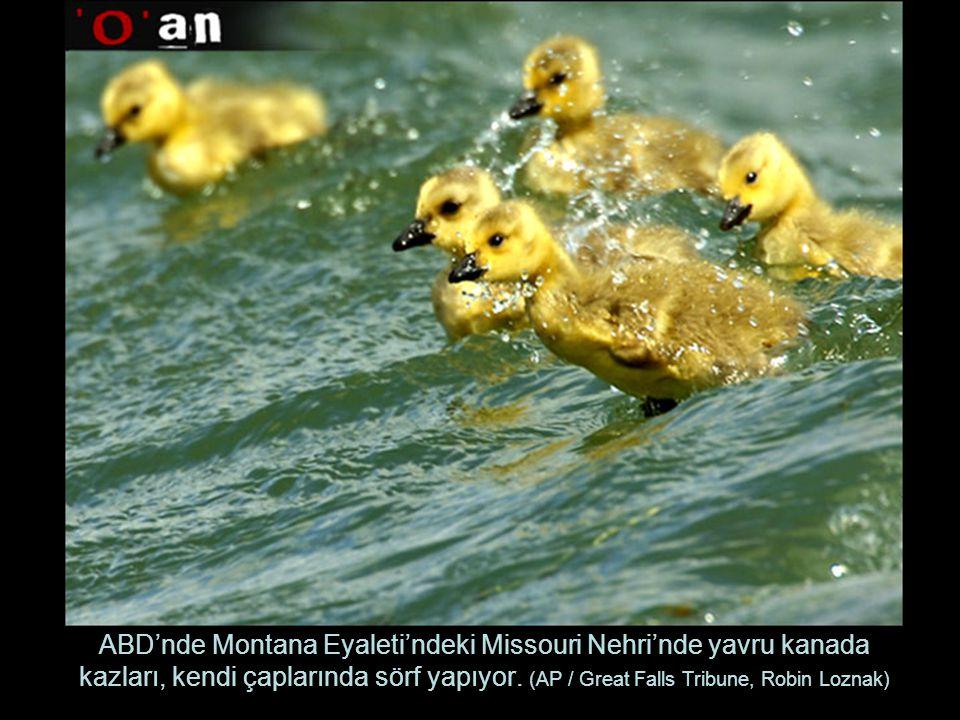 ABD'nde Montana Eyaleti'ndeki Missouri Nehri'nde yavru kanada kazları, kendi çaplarında sörf yapıyor.