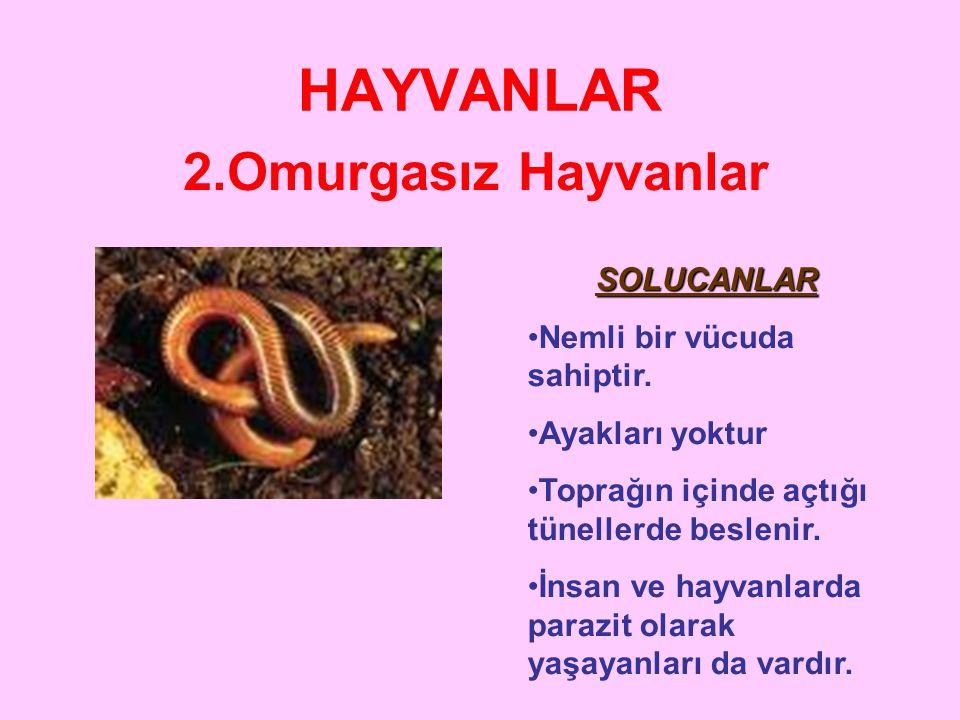HAYVANLAR 2.Omurgasız Hayvanlar •Ç•Çeşit sayısı çok fazladır. • Karada ve suda yaşarlar. • Karada yaşayanları trake ve deri, suda yaşayanları solungaç