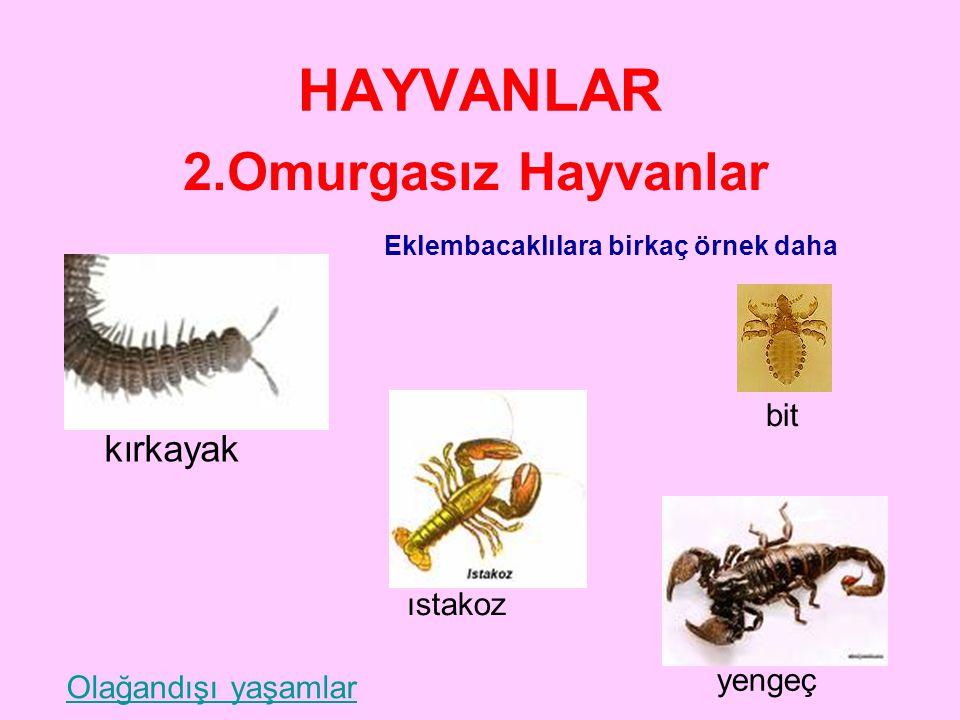 HAYVANLAR 2.Omurgasız Hayvanlar EKLEMBACAKLILAR •O•Omurgasızların en büyük grubunu oluşturur. •H•Hareketlerini eklemli bacaklarıyla gerçekleştirir. •V