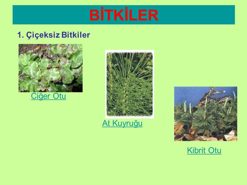 BİTKİLER 1. Çiçeksiz Bitkiler EĞRELTİ OTU •Kara yosununa göre daha gelişmiştir. •Kök, gövde ve yaprak gibi yapıları vardır. •Nehir göl kenarları gibi