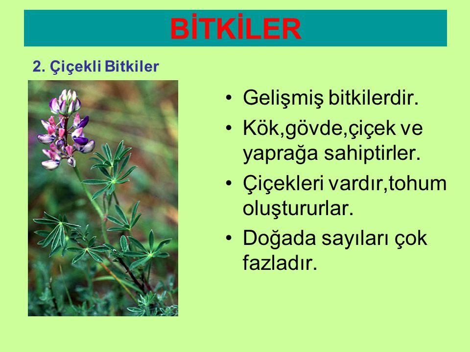 •Çiçekleri, •Hoş kokuları •Değişik renkleriyle Çevremizin süsüdürler. BİTKİLER 2. Çiçekli Bitkiler •İnsanlardan böceklere kadar tüm canlıların hayatın