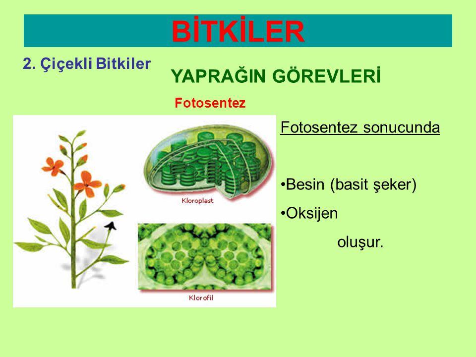BİTKİLER 2. Çiçekli Bitkiler YAPRAĞIN GÖREVLERİ Fotosentez Yeşil Bitkiler (klorofile sahiptirler) •Havadan Karbondioksit •Topraktan aldıkları su •Güne